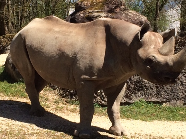 Rhino at Zurich Zoo. Photo: Iain Scott