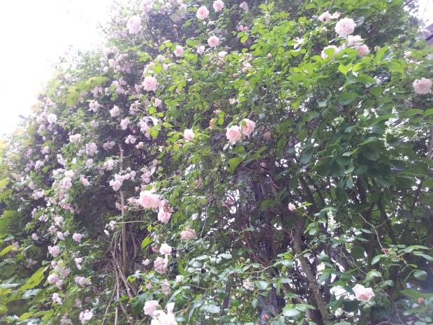 Roses in Zurich